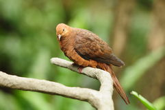 Bird --- Pigeon Royalty Free Stock Photography