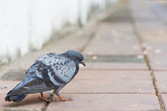 Bird of a pigeon dove grey color walking on concrete. Royalty Free Stock Photo
