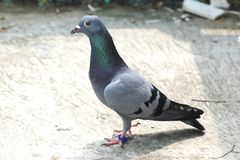 Bird pigeon sitting standing on roof green blue bar racer homing. Game pet Stock Image