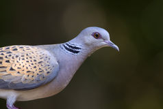 Bird pigeon (Streptopelia turtur). Beautiful pigeon (lovebird - (Streptopelia turtur) portrait Stock Photo