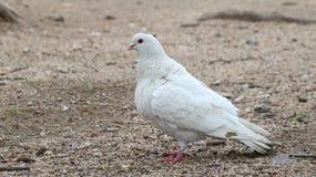 Bird, Pigeons And Doves, Beak, Fauna Royalty Free Stock Photo