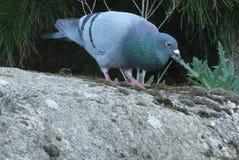 Bird, Pigeons And Doves, Beak, Fauna Royalty Free Stock Photos