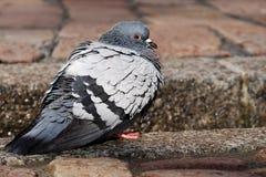Bird, Pigeons And Doves, Fauna, Beak Stock Image
