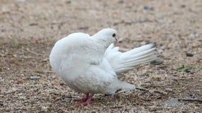 Bird, Pigeons And Doves, Fauna, Beak Royalty Free Stock Photography