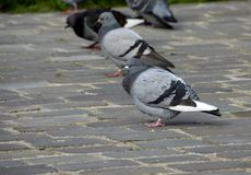 Bird, Pigeons And Doves, Fauna, Beak Royalty Free Stock Photos