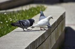 Bird, Pigeons And Doves, Fauna, Beak Royalty Free Stock Images