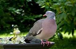 Bird, Pigeons And Doves, Fauna, Stock Dove Stock Photo