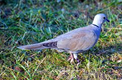 Bird, Pigeons And Doves, Fauna, Stock Dove Royalty Free Stock Photo