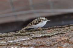 Bird pika. Bird treecreeper on the trunk of a coniferous tree Royalty Free Stock Image