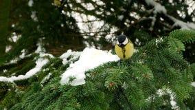 Bird on pine tree winter great tit parus major 4k. Video stock video footage