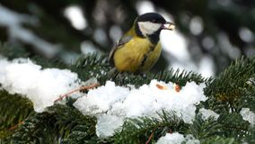 Bird on pine tree winter great tit parus major 4k. Video stock video