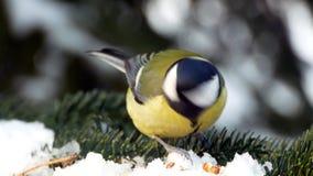 Bird on pine tree winter great tit parus major 4k. Video stock footage