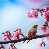 Bird and pink cherry blossom Royalty Free Stock Photo