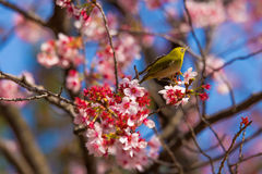 A bird with a pink cherry blossom tree in Spring Stock Image