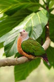 Bird --- Pinon Imperial Pigeon Royalty Free Stock Photo