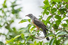 Bird (Plaintive Cuckoo) in a nature wild. Bird (Plaintive Cuckoo, Cacomantis merulinus) black, yellow, brown and orange color perched on a tree in a nature wild Stock Images