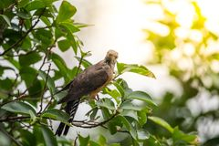 Bird (Plaintive Cuckoo) in a nature wild. Bird (Plaintive Cuckoo, Cacomantis merulinus) black, yellow, brown and orange color perched on a tree in a nature wild Royalty Free Stock Photography