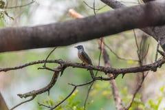 Bird (Plaintive Cuckoo) in a nature wild Stock Image