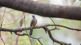 Bird (Plaintive Cuckoo) in a nature wild Royalty Free Stock Photography