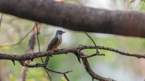 Bird (Plaintive Cuckoo) in a nature wild Stock Photo