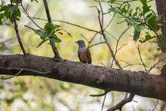Bird (Plaintive Cuckoo) in a nature wild. Bird (Plaintive Cuckoo, Cacomantis merulinus) black, yellow, brown and orange color perched on a tree in a nature wild Royalty Free Stock Photos