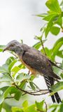 Bird (Plaintive Cuckoo) in a nature wild. Bird (Plaintive Cuckoo, Cacomantis merulinus) black, yellow, brown and orange color perched on a tree in a nature wild Royalty Free Stock Photo