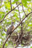 Bird (Plaintive Cuckoo) in a nature wild. Bird (Plaintive Cuckoo, Cacomantis merulinus) black, yellow, brown and orange color perched on a tree in a nature wild Stock Photography