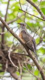 Bird (Plaintive Cuckoo) in a nature wild. Bird (Plaintive Cuckoo, Cacomantis merulinus) black, yellow, brown and orange color perched on a tree in a nature wild Stock Image