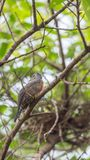 Bird (Plaintive Cuckoo) in a nature wild. Bird (Plaintive Cuckoo, Cacomantis merulinus) black, yellow, brown and orange color perched on a tree in a nature wild Royalty Free Stock Image