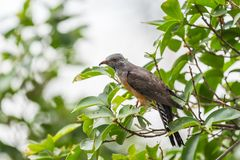 Bird (Plaintive Cuckoo) in a nature wild. Bird (Plaintive Cuckoo, Cacomantis merulinus) black, yellow, brown and orange color perched on a tree in a nature wild Royalty Free Stock Images