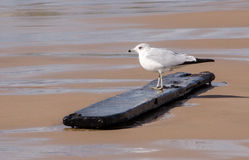 Bird on a plank Stock Images