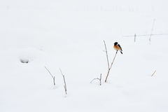 Bird on plant in winter snow. Bird on branch of plant in white snowy countryside Stock Photos