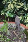 Bird in planter looking wary. A bird in a planter turning his head looking wary Stock Photography