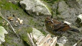 Bird Playing in Mud Stock Photos