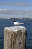 Bird on a pole. A bird roosts on a pole with Auckland City, New Zealand in the background Royalty Free Stock Image