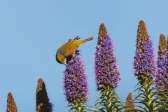 Bird pollinating Pride of Madeira flowers. Small bird pollinating Pride of Madeira flowers Stock Photos