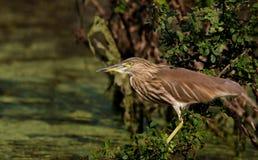 BIRD: Pond Heron Stock Photo