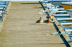Bird poop on jetty. Boat jetty full of bird poop and some mallards sitting to one side. Dirty jetties are problematic and unhygienic in many places Stock Photos