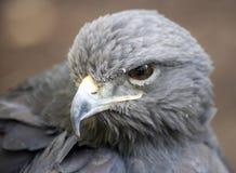 Bird portrait. Portrait of a predatory bird Stock Photo