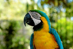 Bird portrait. Colorful Parrot royalty free stock images