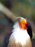 Bird, portrait of Caracara Royalty Free Stock Photos