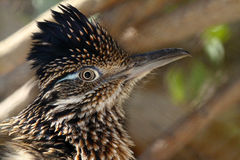 Bird Portrait. Close Up Detail Portrait Of Roadrunner Bird Profile royalty free stock photo