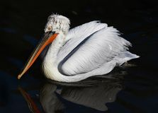 Bird portrait of a Dalmatian Pelican swims majestically in the d Stock Image
