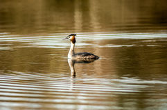 Bird portrait great crested grebe Stock Images