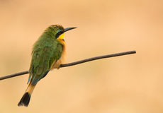 Bird portrait of a Little Bee-Eater, Southeast Africa Stock Photography
