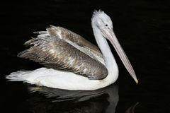 Bird portrait of a pink Pelican majestically floats in the dark. Water stock image