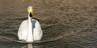 Bird portrait whooper swan Royalty Free Stock Image