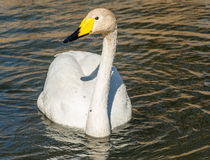 Bird portrait whooper swan Royalty Free Stock Images