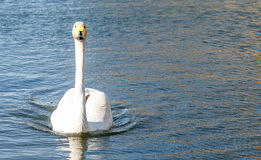 Bird portrait whooper swan Royalty Free Stock Photo