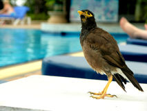 Bird posing. Most popular bird of Thailand, posing next to the pool Stock Images